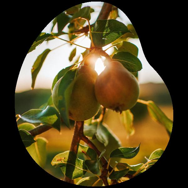 environnement biologique et qualité des fruits verger apremont