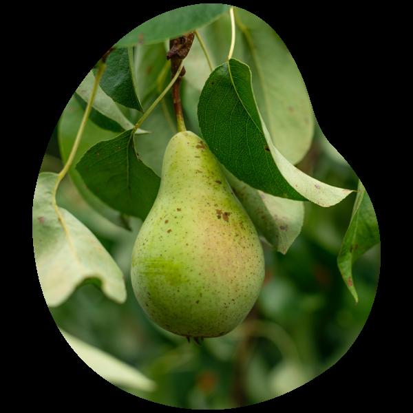 4 variétés de poires produites au verger d'apremont