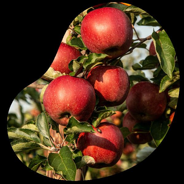 variétés de pommes produits au vergers d'apremont