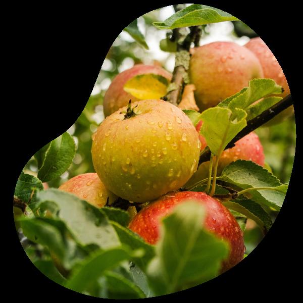 Pommes savoureuses du verger d'apremont pommier